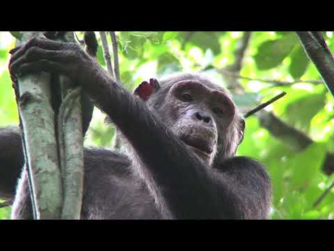 B-Roll: Gorilla and Chimpanzee Study Finds More Great Apes Than Previously Thought | WCS