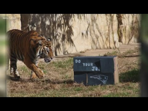 Beloved tiger at SA Zoo euthanized, but conservation lives on