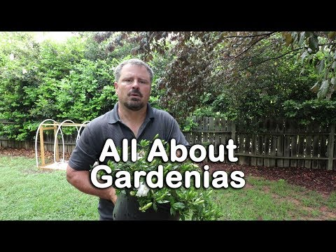 ALL ABOUT GARDENIAS - Details about different varieties and how to grow Gardenias
