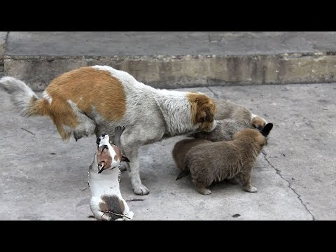 Top Video Heartbreaking, Rescue Homeless Mother Dog Feeding Puppies With Milk.