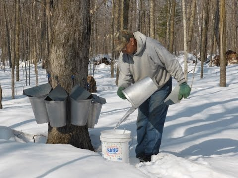 Maple Sap Documentary