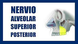 Técnica Anestésica Alveolar Superior Posterior   ✅
