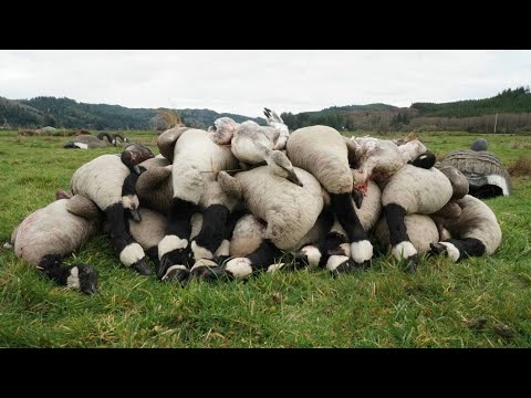 SNOW GOOSE SHOOT ON OREGON COAST! 18 GEESE 4 MAN LIMIT!
