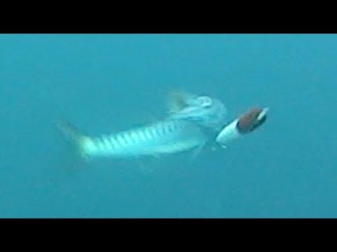 Underwater Camera Catch A Barracuda Halco Sorcerer Red Head
