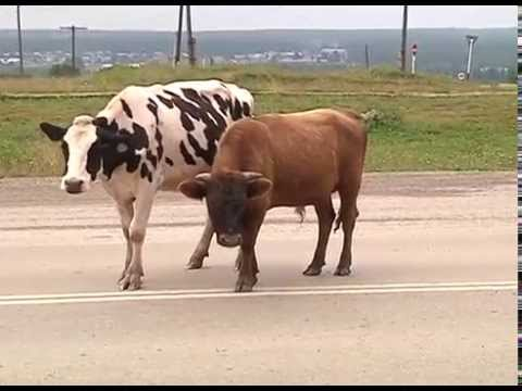 Объявления о продаже для тех, кто хочет купить козу, козлика или козят, овцу или барана, корову телочку или бычка, свиней или поросят, лошадь или. Продажа коз, овец, коров, свиней и лошадей — воронеж и область — объявления. 500 руб. Продаются козлята,козы до 1 -1. 5 года,овцы,дойные козы.