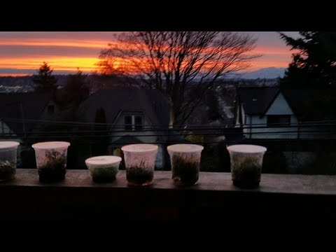 ADF Brand Tissue Culture Plants - ADF Review /  Overview & A Seattle Sunset to Light my new pleco