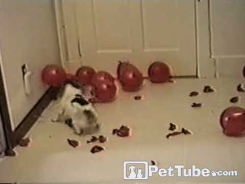 Dog Pops Balloons- PetTube