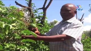 Ukambani farmers move away from conventional crops to yellow passion fruit farming
