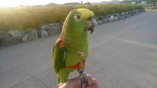 (아마존앵무) 앵무새 맞아요?