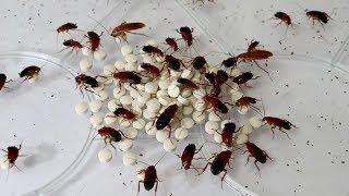 大量のゴキブリに精力剤をあげた結果…衝撃の事実が発覚! thumbnail