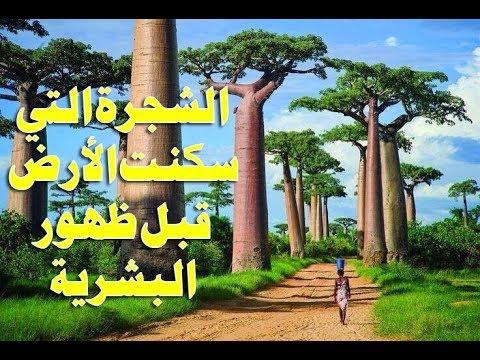 الباوباب شجرة الحياة التي سكنت الأرض قبل ظهور البشرية وموطن لأرواح الأجداد Baobab Youtube