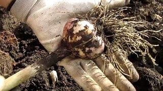 видео Уборка и хранение урожая
