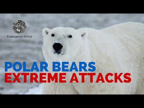 Extreme Polar Bears Attack: Fatal Polar Bears Attack