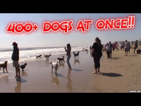 400+ DOGS ON THE BEACH AT ONCE. (Dewey Beach,Delaware)