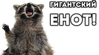 ГИГАНТСКИЙ ЕНОТ!