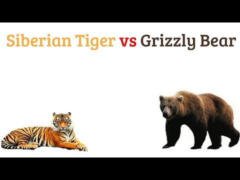 Siberian Tiger vs Grizzly Bear 2018