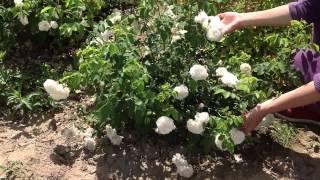 Роза бедренцеволистная крупный план. Роза белая, кустовая.(Добрый день! Мы занимаемся выращиванием и продажей растений для ландшафтного дизайна. В ассортименте собст..., 2014-07-02T11:09:48.000Z)