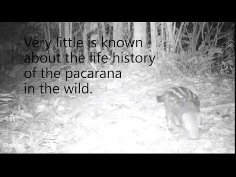 Rare wildlife footage: pacarana