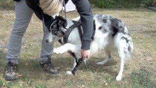 Teach Your Dog To Step Into A Harness - 1 Min Dog Training Tutorial