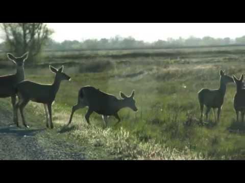 Mule Deer Crossing the Road