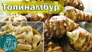 Топинамбур (земляная груша) - полезные свойства