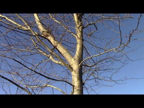 Annual Poplar Tree Harvest: The Fastest Growing Tree In Ireland??