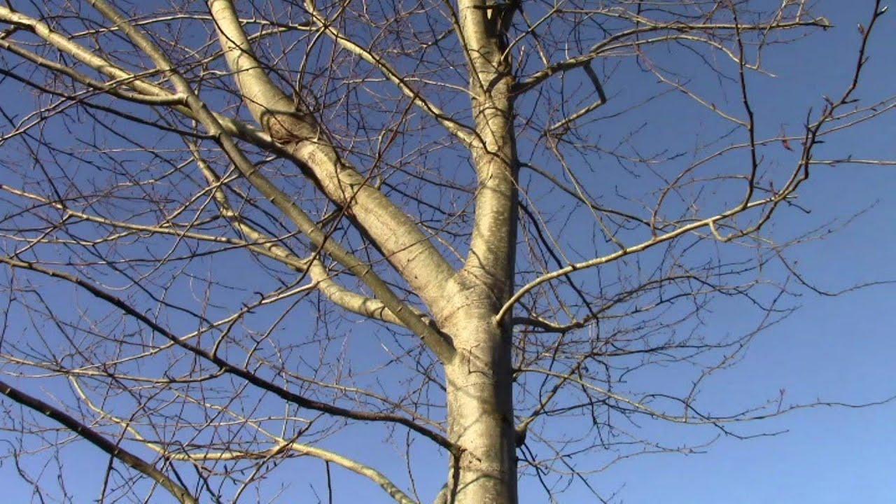 Annual Poplar Tree Harvest The Fastest Growing In Ireland
