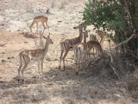 Watamu 2008 - Kenya - Jacaranda