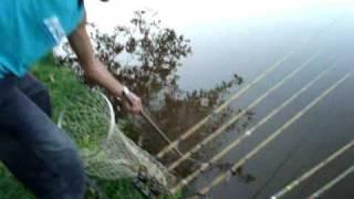 pescaria de tilapias gigantes
