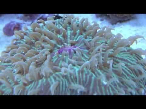 Plate Coral Feeding Time Lapse