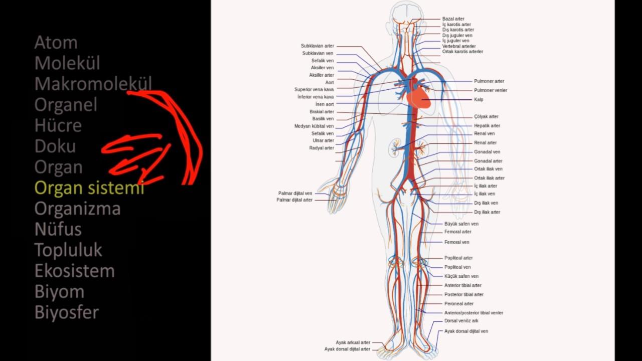 Anatomi Ve Fizyoloji Biyoloji Fizyolojinin Prensipleri