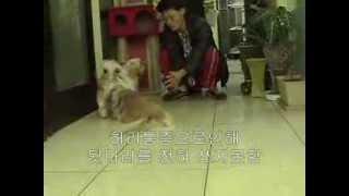 Acupuncure treatment for canine IVDD (pekingese Royal)