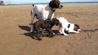 German Shorthaired Pointer Puppies: Big Boy And Liver Girl At The Beach 9 Weeks Old