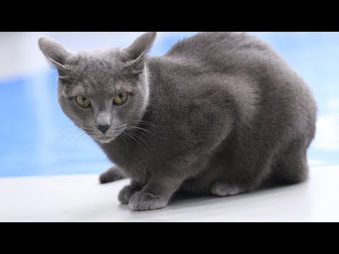 How to Identify a Russian Blue - Cat Breeds