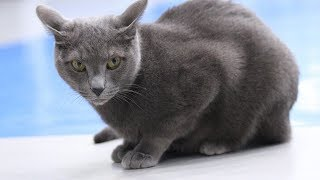 How to Identify a Russian Blue  Cat Breeds