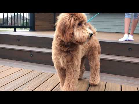 Leo the Goldendoodle after first haircut