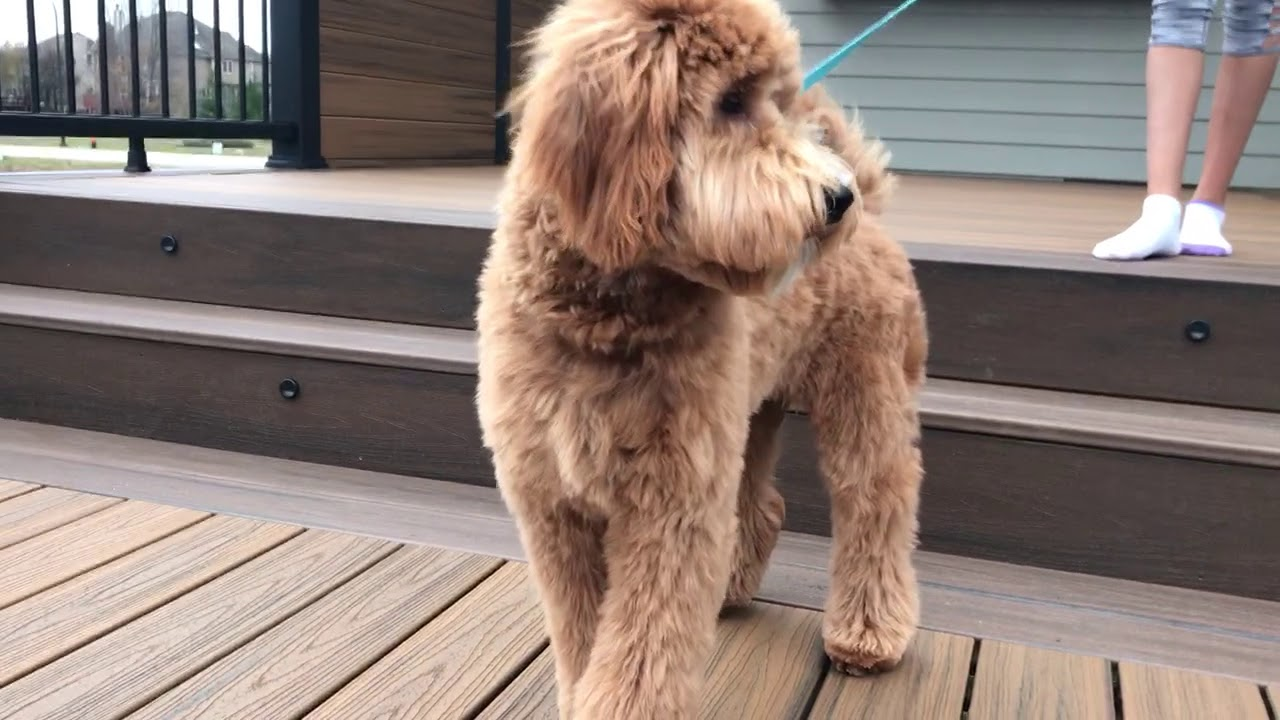 goldendoodle puppy haircuts