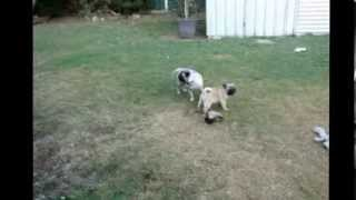 Ruby, Toby & Pugsy Playing