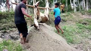 Permalink to Cow Dead In Sick Abandoned Dying Calf Now Safe Forever In River