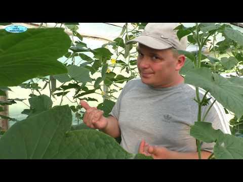 Урожай огурцов в