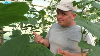 Урожай огурцов в ДВА РАЗА БОЛЬШЕ, если его ТАК обрезать!!!