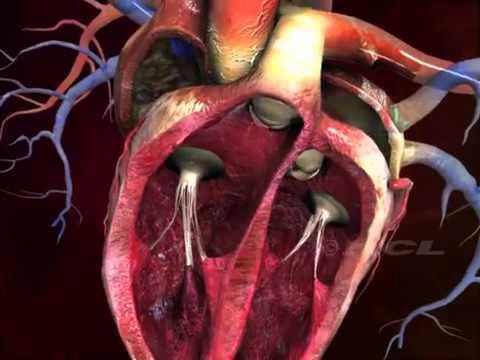 картинки сердца человека