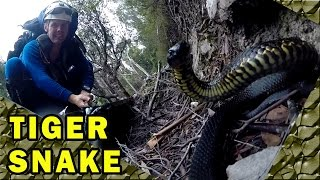 Snake Bites Caught on Video, Deadly Australian Tiger Snakes