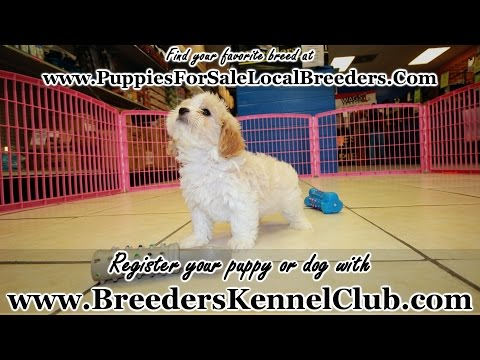 CAVACHON PUPPIES FOR SALE GEORGIA LOCAL BREEDERS