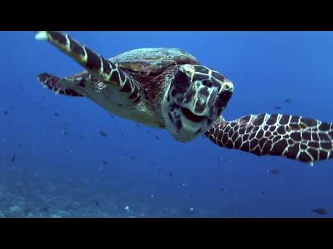 Nature TV - Funny And Cute Hawksbill Turtles- Kids Love Them!