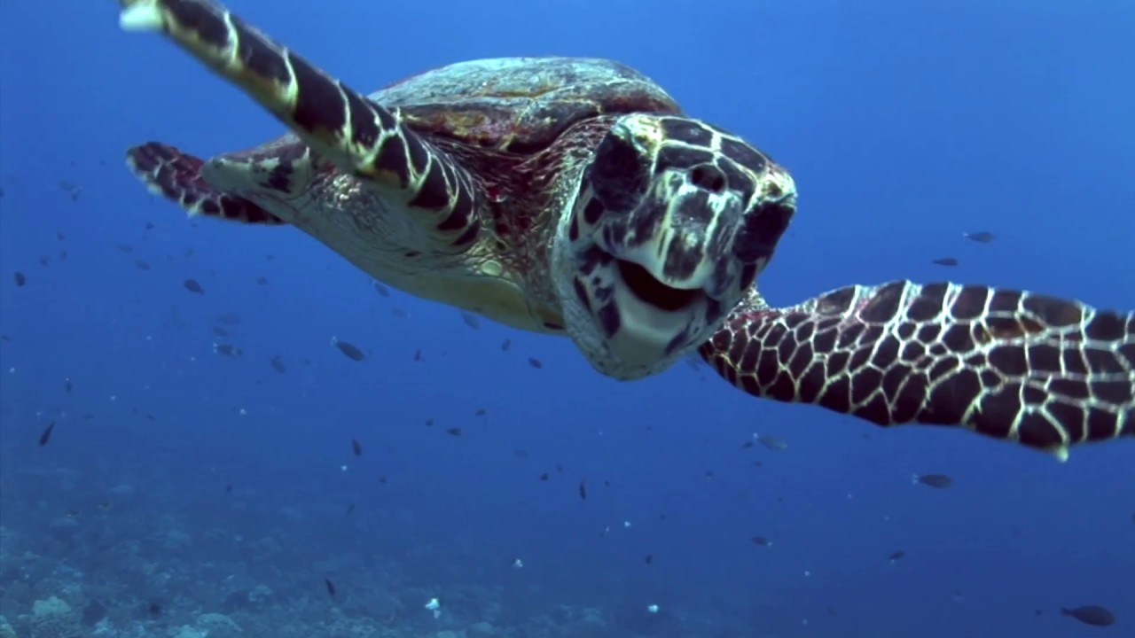 Funny and cute hawksbill turtles kids love them youtube - Cute turtle pics ...