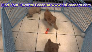 Golden Doodle, Puppies, For, Sale, In, Columbia, Maryland, Md, Perry Hall, Pikesville, College Park,