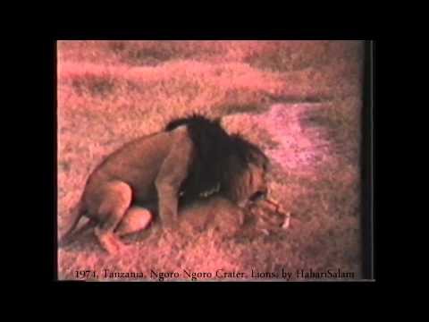 1974 Tanzania   Ngoro-Ngoro, Couple de Lions, Accouplement, by HabariSalam, Simba