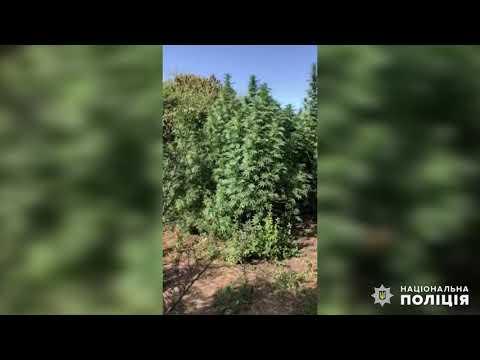Поліція Миколаївщини: Вознесенськ. Вилучення коноплі, висадженої у лісосмузі