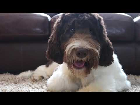 Fully Trained Labradoodles Available - Kahlua